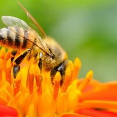Propolis, a source of health