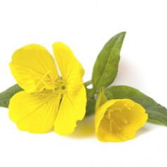 Evening Primrose, the women's plant