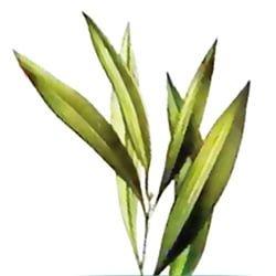 Propriétés et usages de l'huile essentielle de l'arbre à thé