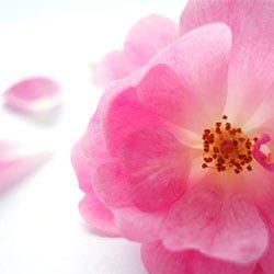 La rosa mosqueta, regenera y rejuvenece