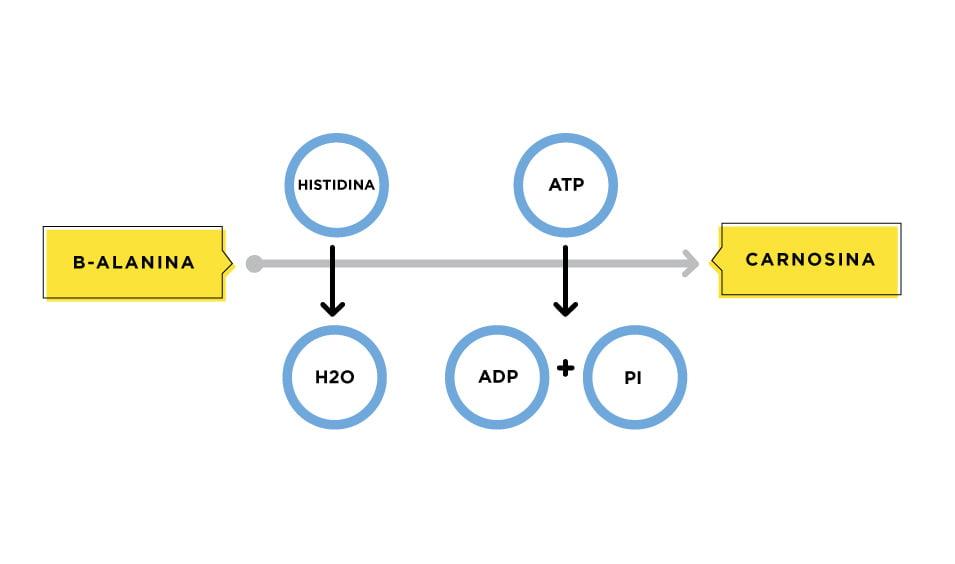 ¿Qué es la beta-alanina?